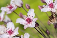 Butomus umbellatus (Flowering rush) - Butomaceae - River Nene, Castor, Peterborough, UK-2 (Nature21290) Tags: butomaceae butomus butomusumbellatus castor floweringrush july2018 peterborough plant rivernene uk