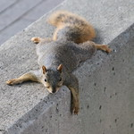 Squirrels in Ann Arbor at the University of Michigan on September 13th, 2018 thumbnail