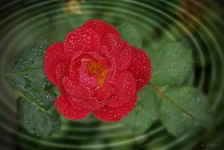 rote Rose (2)