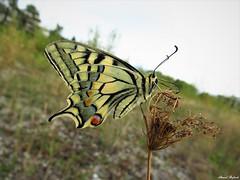 Butterfly 1728 (+1300000 views!) Tags: butterfly borboleta farfalla mariposa papillon schmetterling فراشة