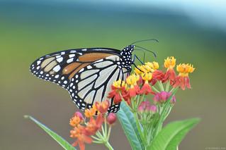 Butterfly 2018-85