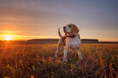 Beagle dog (androsoff) Tags: beagle dog animal mammal autumn sunset evening september sky landscape beautiful blue red white black brown paws hunter truancy play outdoor muzzle tail background portrait purebred