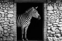 Non ho resistito (ilBovo) Tags: contrasto animal ilbovo blackandwhite biancoenero zebra