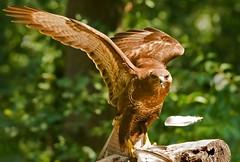 Buizerd - Beteo buteo (wimberlijn) Tags: buizerd beteobuteo roofvogel natuur vogelhutrucphen commonbuzzard buzzard birdofprey bird nature wildlife animal 0utdoor