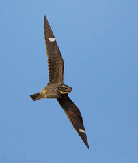 Common Nighthawk (Nick Saunders) Tags: saskatchewan commonnighthawk infight flight flying nightjar canada fall