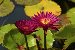 Prettier in pairs! (ineedathis, Everyday I get up, it's a great day!) Tags: bullseyewaterlily closeup lily pads pond garden nature nymphaea bokeh waterplant watergarden tropical beauty exotic flower summer νουφαρο νυμφαια plant hotpink ant insect green nikond750 yellow showy fragrant