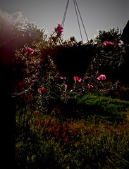 Summer Sunset (Professor Bop) Tags: summer sunset professorbop drjazz olympusem1 flowers hangingbasket nature sky earth vivid