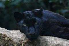 Black Leopard - Zoo Amneville (Mandenno photography) Tags: animal animals black leopard leopardcub dierenpark dierentuin dieren france frankrijk bigcat big cat cats zoo zooamneville amneville