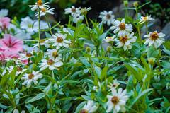 DSCF4560.jpg (RHMImages) Tags: garden xt2 summer flowers crystalhermitage fuji nevadacounty nevadacity fujifilm anandavillage