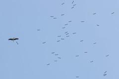 White Stork Migration (SONP_photo) Tags: україна лелека аист ukraine bird wildlife outside sky ciconia nature migration autumn