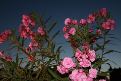 untitled (Binacat) Tags: canon eos 750d digital color berlin lustgarten oleander pink sky night blue dawn altesmuseum langenachtdermuseen outside nature