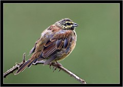 CIRL BUNTING (PHOTOGRAPHY STARTS WITH P.H.) Tags: cirl bunting male nikon d500 tele converter 500mm afs vr wembury point devon