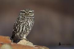 Mochuelo (Athene noctua) (jsnchezyage) Tags: mochuelo athenenoctua ave bird birding birdwatching ornithology beak feather littleowl