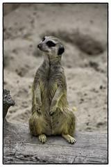 Suricata suricatta (myphotomailbox) Tags: rotterdam netherlands blijdorp zoo outdoor meerkat zoogdier stokstaartje mammal rock animal erdmännchen сурикат mirket suricate dier 狐獴 سرقاط wood