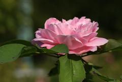 Rose (HEN-Magonza) Tags: botanischergartenmainz mainzbotanicalgardens rheinlandpfalz rhinelandpalatinate deutschland germany flora rose rosa