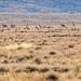Antelope near Antelope Butte
