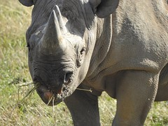 I finks I needs a toof pick. (Simply Sharon !) Tags: rhino blackrhino rhinoceros savetherhino animal yorkshirewildlifepark