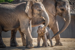 Being Loved (helenehoffman) Tags: mammalg elephant conservationstatusvulnerable africansavannaelephant sandiegozoosafaripark loxodontaafricana africanbushelephant calf animal mammal coth5