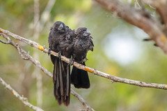 Three Smooth-billed Anis (wn_j) Tags: birds birding nature naturephotography wildlife wildanimals wildlifephotography canon canon1dxii canon400mm ani galapagos smoothbilledani