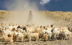 cashmere II (DeCo2912) Tags: cashmere goats jammu kashmir ladakh himalaya india