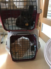 On the Occasion of Bonkers' Last Day as an 18 Year-Old (sjrankin) Tags: 14september2018 edited kitahiroshima hokkaido japan animal cat bonkers norio cage carrier catcarrier vet vetclinic clinic