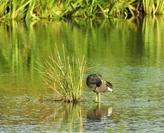 Moorhen In Green - Cresswell Farm Pond (Gilli8888) Tags: nikon p9oo coolpix northumberland northeast countryside nature birds waterbirds wetlands cresswellponds cresswell water waders moorhen green pond reflection reflectionsinwater