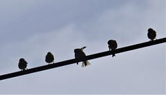 Silhouetted Linnets - Cresswell (Gilli8888) Tags: nikon p9oo coolpix northumberland northeast countryside nature birds cresswell cresswellponds linnets commonlinnet wire five silhouette silhouettephotography