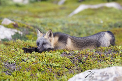 Lazy day fox (Seventh day photography.ca) Tags: crossfox fox redfox kit young wildanimal wildlife nature animal mammal summer newfoundland canada chrismacdonald seventhdayphotography