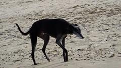 Autumn Afternoon at Portobello 05 (byronv2) Tags: sunny sunlight sunshine autumn portobello edinburgh edimbourg scotland coast coastal sea northsea firthofforth forth rnbforth river riverforth beach portobellobeach blackandwhite blackwhite bw monochrome dog greyhound