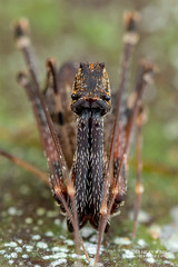 Assassin spider / Pelican spider (Eriauchenius sp.) - DSC_2715 (nickybay) Tags: africa madagascar macro andasibe voimma assassin spider pelican archaeidae eriauchenius