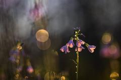 Cardamine pratensis L (Thomas Vanderheyden) Tags: bokeh colors couleur fleur fleursauvage flora flore flower fujifilm macro nature proxi samyang135mm thomasvanderheyden vegetal xt1 fujiflim