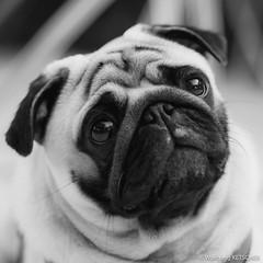 Baron Portrait (wketsch) Tags: grass dog pug garden baron autumn