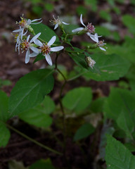 White Wood Aster (Dendroica cerulea) Tags: whitewoodaster eurybiadivaricata eurybia astereae asteraceae asterales white flowers flower plant summer rutgersecologicalpreserve livingstoncampus rutgersuniversity middlesexcounty nj newjersey