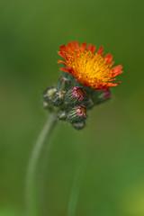 Orange Hawkweed (pstenzel71) Tags: blumen natur pflanzen orange habichtskraut hawkweed pilosellaaurantiaca hieraciumaurantiacum darktable flower bokeh