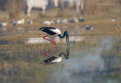 Sweet Reflection!!! (Anirban Sinha 80) Tags: nikon d610 fx 500mm f4 ed vrii n g bird stork bokeh natural nature colour wetland beak hunting