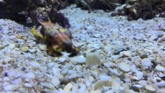 Baby Cuttle Fish (mikebug) Tags: ripleysaquarium toronto cuttlefish