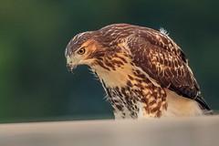 Juvenile Red-tailed Hawk (wn_j) Tags: birds birding birdsofprey nature naturephotography wildlife wildanimals wildlifephotography urbanwildlife urban urbanhawks hawk redtailhawk raptors raptor redtailedhawk canon canon1dxii canon500mm