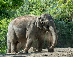 Asian Elephant - Berlin Zoological Garden (Daniel Poon 2012) Tags: musictomyeyes artistoftheyear amazingphoto 123 blinkagain blinkstomyeyes flickr nikonflickraward simplysuperb simplicity storytelling nationalgeographic ngc opticalexcellence beauty beautifullight beautifulcapture level2autofocus landscape waterscape bydanielpoon danielpoonca worldtravel superphotosgroup theamusingphotogroup powerofnikon aplaceforgreatphotographers natureimage focusandclick travelaroundthe world worldmasterpiece waterwatereverywhere worldphotography yourbestphotography mybestphotography worldwidewandering travellersworld orientalland nikond500photography photooftheyear nikonshooters landscapeoftheworld waterscapeoftheworld cityscapeoftheworld groupforallusersofnikon chinesephotographers