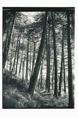Path (Mark Dries) Tags: markguitarphoto ma markdries graflex crowngraphic schneiderkreuznach 90mm wideangle fomapan 100iso contactprint adox mcp312 selenium sepia darkroomprint darkroom