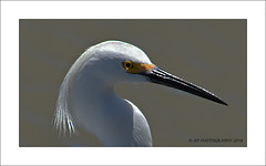Egret (prendergasttony) Tags: egret nikon d7200 wildlife bird nature portrait head eye white