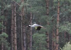 Stork (Tomek Mrugalski) Tags: animal wild forest bory poland stork bird flying