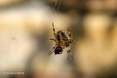 Spider lunch (tau247) Tags: araneusdiadematus england gardenspider arachnid behaviour brown capture carnivore fly garden nature predator prey spider summer web wildlife