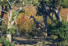 GifraffeUnderCover (Wolfram Burner) Tags: kruger sa southafrica wildlife conservation natural history naturalhistory wolfram burner africa