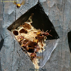 Hornissennest - hornet's nest (Noodles Photo) Tags: insecta insekten hymenoptera hautflügler vespidae faltenwespen vespinae echtewespen vespa vespacrabro hornisse eusocialwasp europeanhornet hornet hornetsnest hornissennest zooduisburg zoo duisburg nrw nordrheinwestfalen northrhinewestphalia germany deutschland canoneos7dmarkii tamronsp150600mmf563divcusdg2