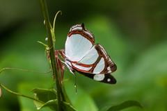 Pyrrhogyra edocla (fabriciodo2) Tags: pyrrhogyraedocla papillon mariposa nature macro sigma150 mexique coba