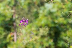 Couleurs du Forez... (Serge Papin) Tags: papouli42 sergepapin forez auvergnerhônealpes france fr loire 42 fleur