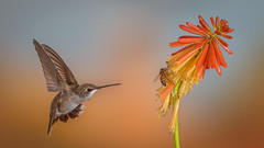Competing for nectar-3838 (Eric Gofreed) Tags: arizona hummingbird multiflashphotography mybackyard sedona