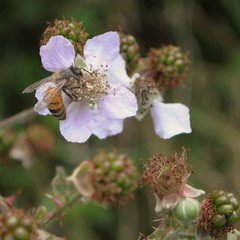 La récolte du nectar. (Claudia Sc.) Tags: insecte pyrénées ariège sentenac gr10 fleur ronce couserans france faune sauvage animal