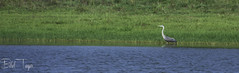 Grey Heron (Bilel Tayar) Tags: nature naturalist inaturalist heron grey birds bird oiseaux oiseau lac lake algeria algerie humide avifaune skikda nikon nikond5200 tamron wildlife green verdure