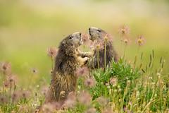 Marmots (Mary Bassani) Tags: marmots marmotta animal animalplanet mammiferi granparadiso italia wildlife wild naturewildlife naturaleza nature wildlifephotographer canonphotographer marmota marmotten murmeltiere flower grass